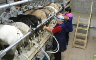 Выращивание коз как бизнес