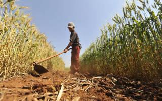 Выращивание пшеницы как бизнес
