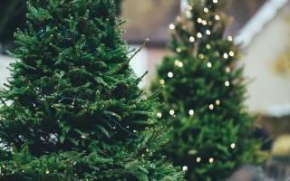 Выращивание елок как бизнес