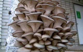 Выращивание грибов в гараже как бизнес