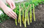 Выращивание спаржи как бизнес