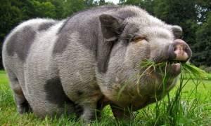 Разведение вислобрюхих свиней как бизнес