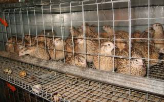 Разведение перепелок несушек на яйца как бизнес
