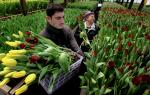 Тюльпаны в теплице как бизнес