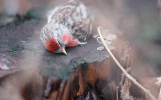 Ловля лесных птиц как бизнес