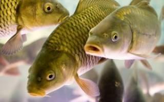Выращивание рыбы в пруду как бизнес