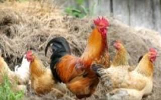 Разведение птицы в домашних условиях как бизнес