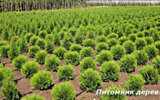 Выращивание саженцев хвойных пород как бизнес