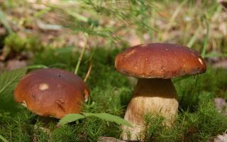 Выращивание белых грибов как бизнес