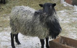Разведение романовских овец как бизнес