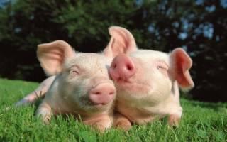 Выращивание свиней на мясо как бизнес