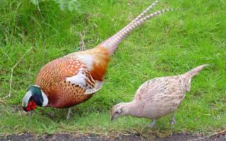Разведение фазанов в домашних условиях как бизнес