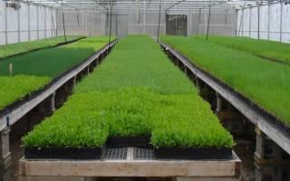 Выращивание зелени в квартире как бизнес