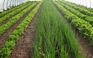 Выращивание рукколы как бизнес
