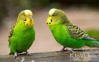 Разведение волнистых попугаев как бизнес