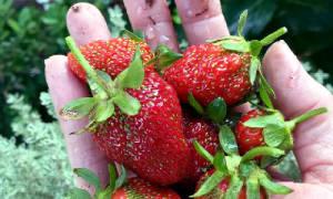 Выращивание клубники в открытом грунте как бизнес