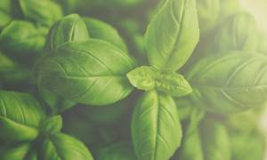 Выращивание мяты как бизнес